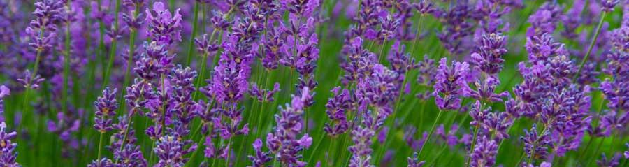 lavender900hor